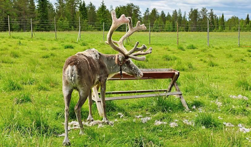 Rencontre avec les rennes - Rovaniemi - Laponie - Finlande