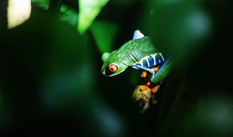 Balade nocturne : gros plan sur une grenouille - Costa Rica