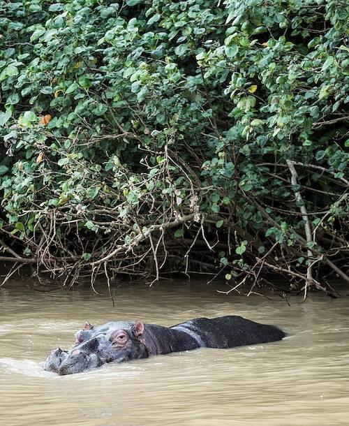 Croisière sur l'estuaire de Santa Lucia : rencontre avec des hippopotames - Santa Lucia - KwaZulu-Natal - Afrique du Sud