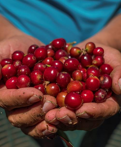 Culture de café - Providencia de Dota - Vallée Centrale - Costa Rica