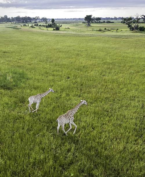 Vue aérienne d'un couple de girafes - Afrique du Sud