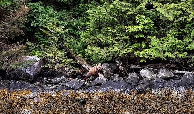 Observation de grizzlis à Telegraph Cove - Baie Knight - Canada