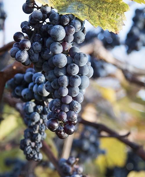 Détail d'une grappe de raisin - Kelowna - Canada