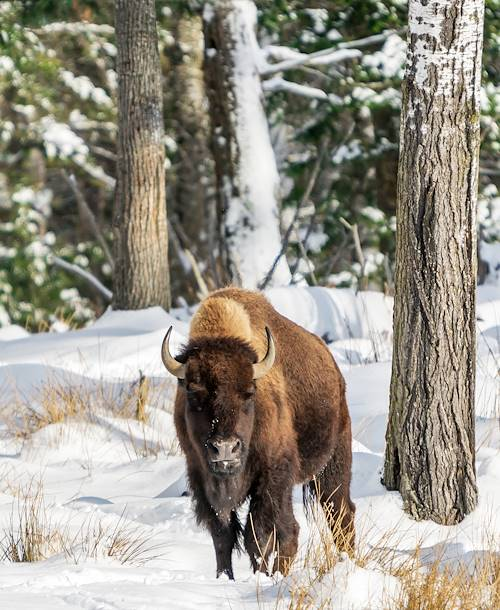 Bison - Canada