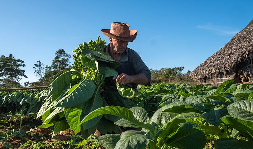Récolte des feuilles de tabac - Vinales - Pinar del Rio - Cuba
