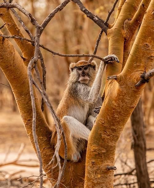 Singe rouge dans la réserve ornithologique du Djoudj - Sénégal