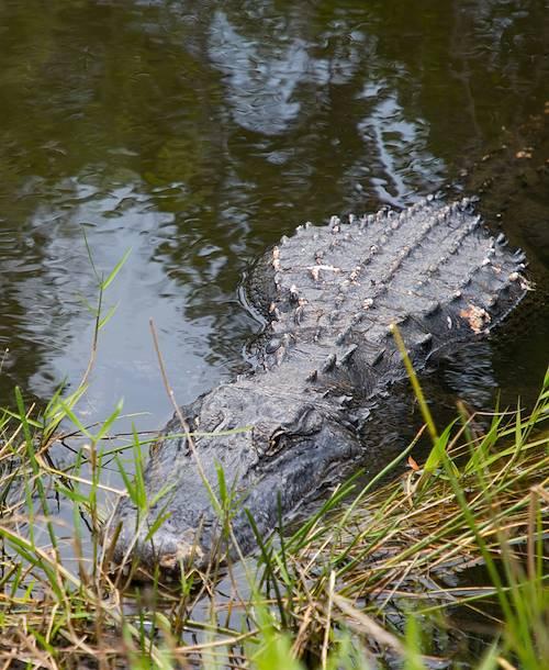 Alligator dans les mangroves des Everglades - Floride - Etats Unis