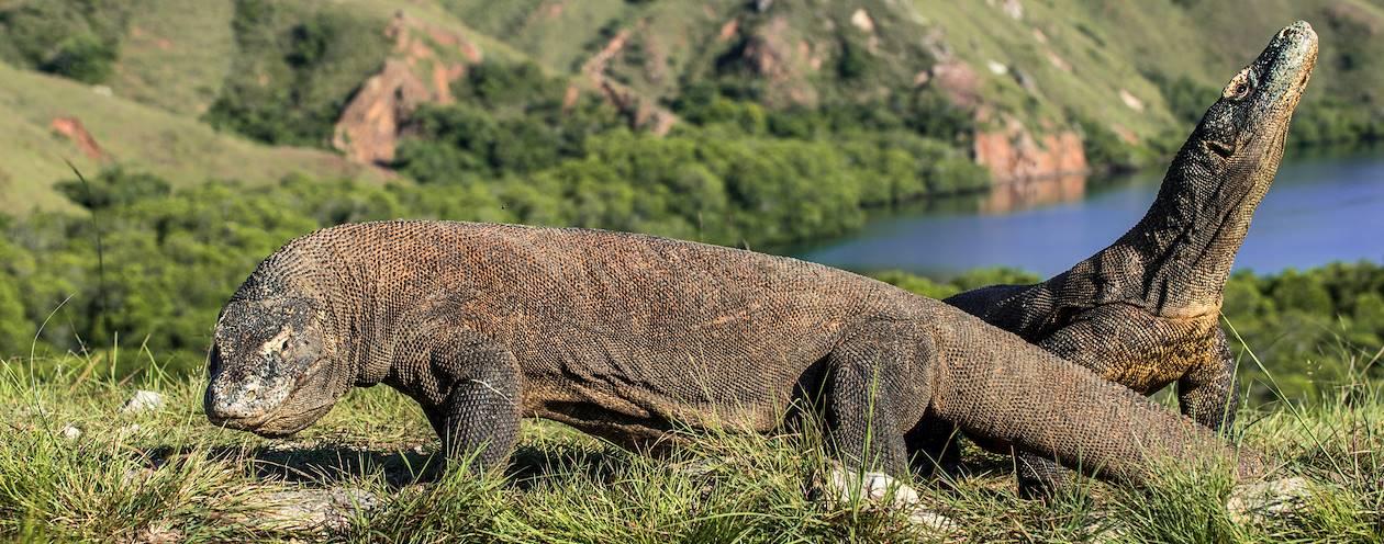Les varans du parc national de Komodo - Île de Rinca - Indonésie