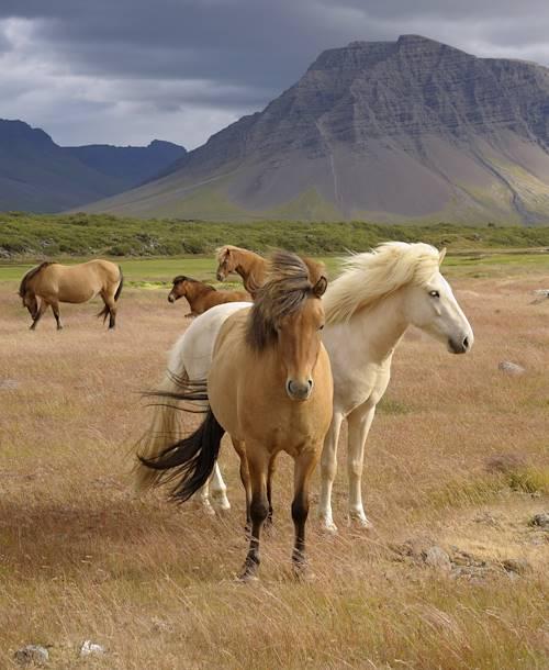 Chevaux sauvages - Islande