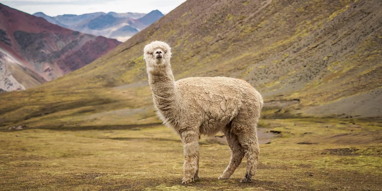 Alpaga sauvage près de Vinicunca - Pérou