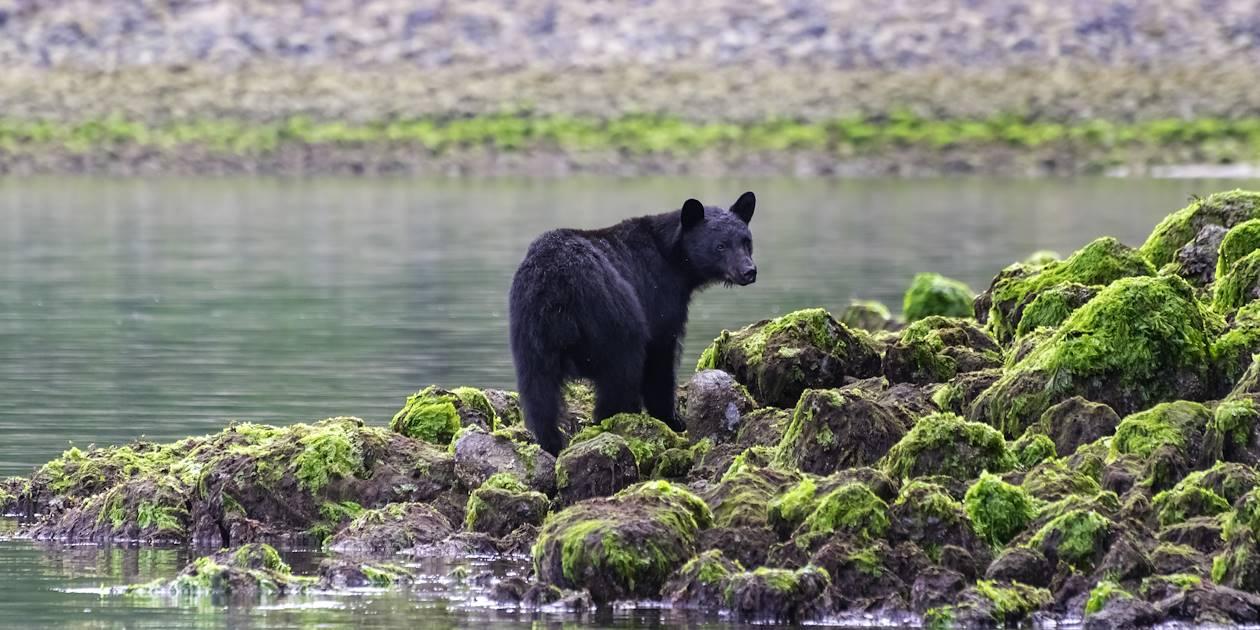 Observation de l'ours noir - Tofino - Colombie Britannique - Canada