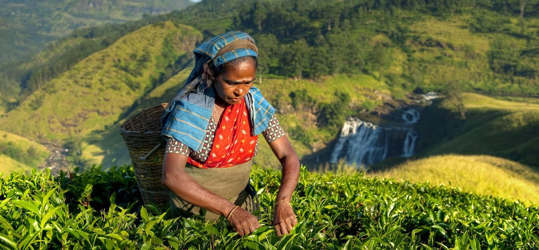 Cueilleuse de thé - Nuwara Eliya - Sri Lanka