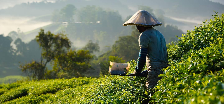 Paysan dans les plantations de thé de Cameron Highlands - Pahang - Malaisie