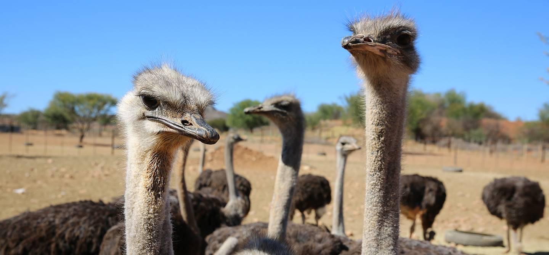 Autruches d'Oudtshoorn - Afrique du Sud