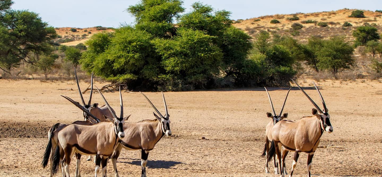 Troupeau d'oryx gazelle dans le parc national de Kgalagadi Transfrontier - Namibie