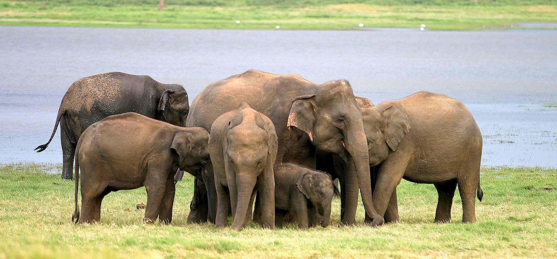 Parc national de Minneriya - Sri Lanka
