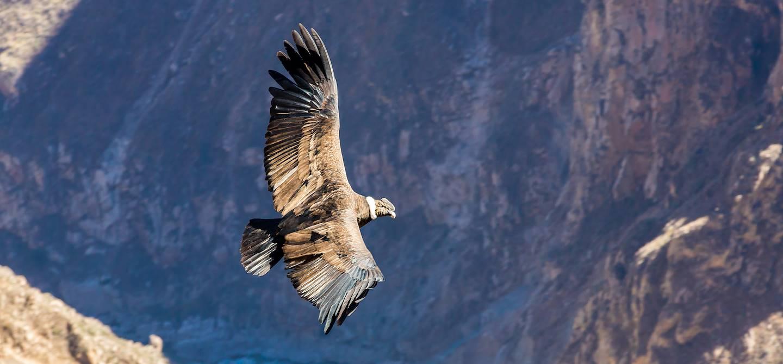Condor au dessus du Canyon de Colca - Coporaque - Pérou