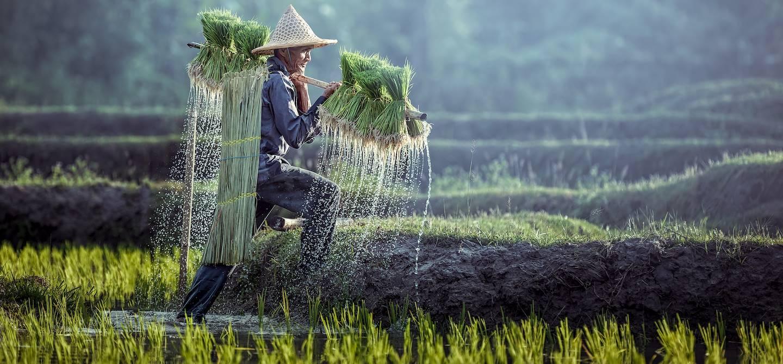 Agriculteur portant des plants de riz - Vietnam