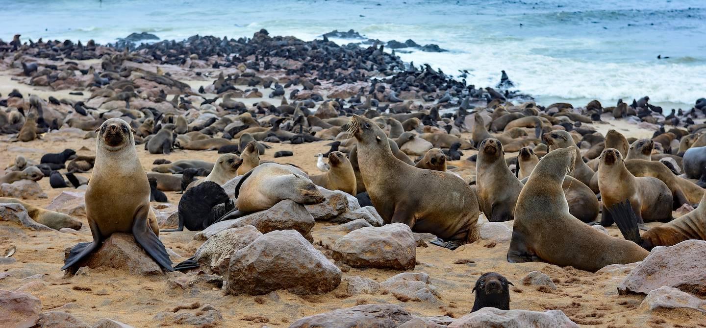 Otaries à Cape Cross - Namibie