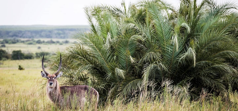 Cobe à croissant dans le parc de la zone humide d'iSimangaliso - Santa Lucia - KwaZulu-Natal - Afrique du Sud