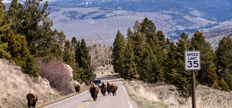 Bisons sur la route - Parc national de Yellowstone - Etats-Unis