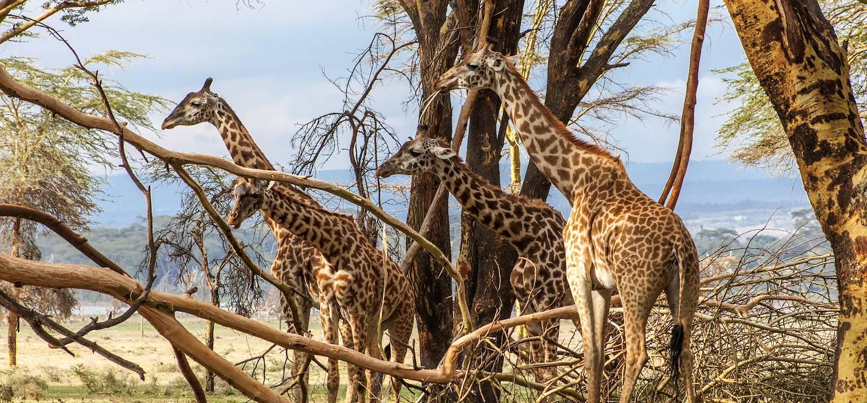 Girafes sur l'Île de Crescent - Kenya