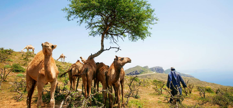 Dromadaires dans le Jabal Al Qamar - Dhofar - Oman