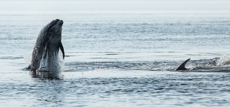 Grand dauphin - Estuaire de la Moray - Ecosse