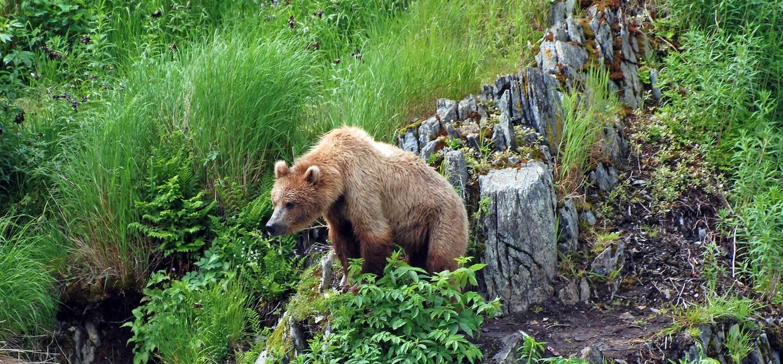 Grizzli - Canada