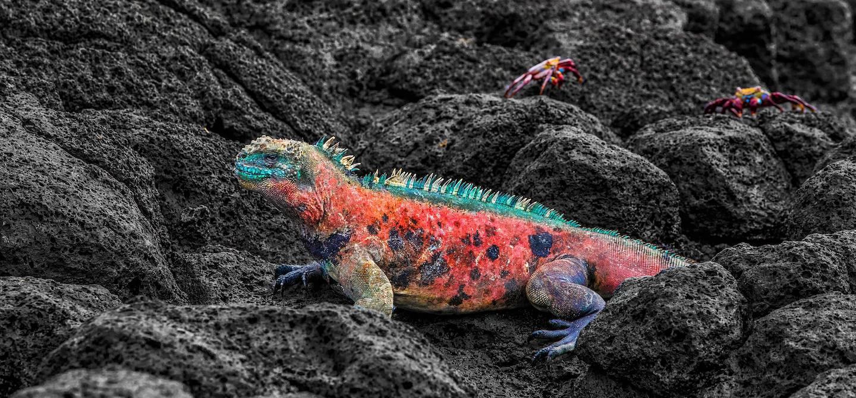 Iguane marin des îles Galapagos - Equateur