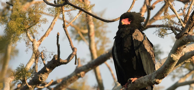 Bateleur des savanes - Réserve naturelle de Majete - Malawi