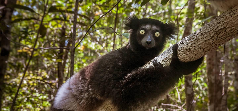 Lémurien indri-indri - Parc national d'Andasibe-Mantadia - Madagascar