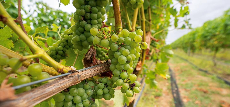 Vignoble dans la région de Martinborough - île du Nord - Nouvelle-Zélande