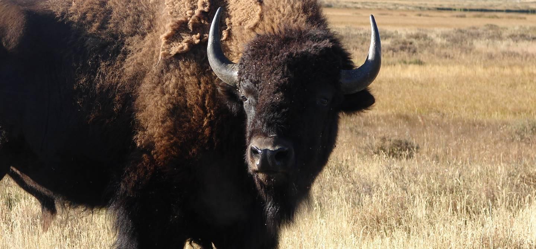 Bison du Yellowstone National Park, Wyoming