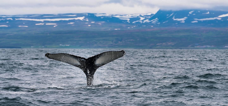 Observation des baleines en bateau à moteur éléctrique - Husavik - Islande