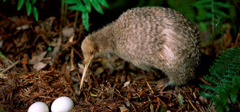 Kiwi et ses oeufs - Île du Nord - Nouvelle Zélande