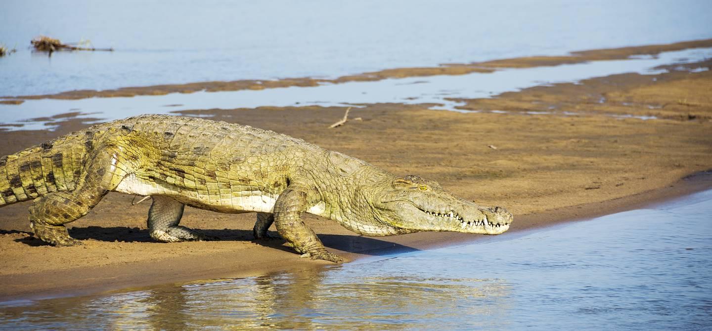 Crocodile sur les bords de la rivière Rufiji - Tanzanie