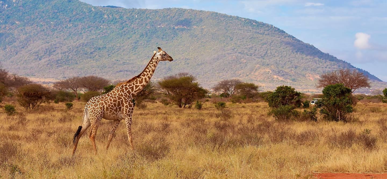 Girafe dans le parc national de Tsavo - Kenya