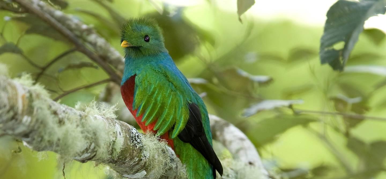 Quetzal - Parc de Los Quetzales - Costa Rica