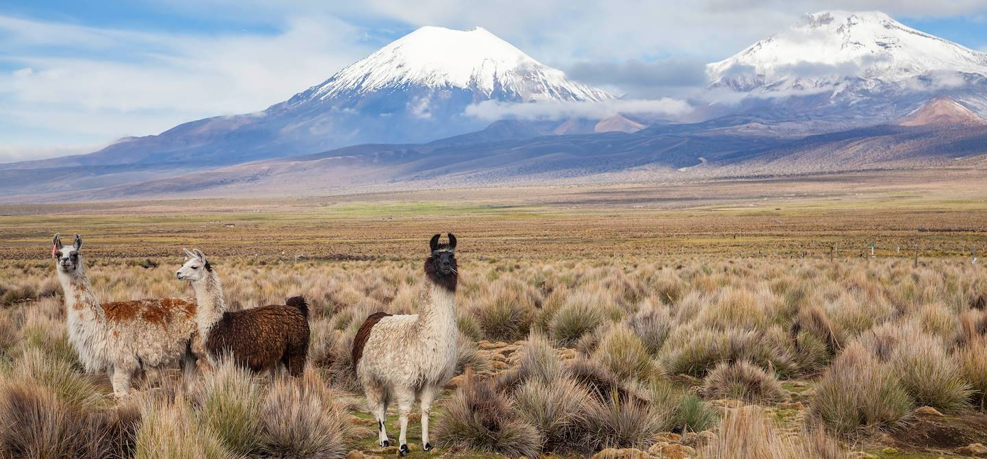 Lamas dans le parc national de Sajama - Bolivie