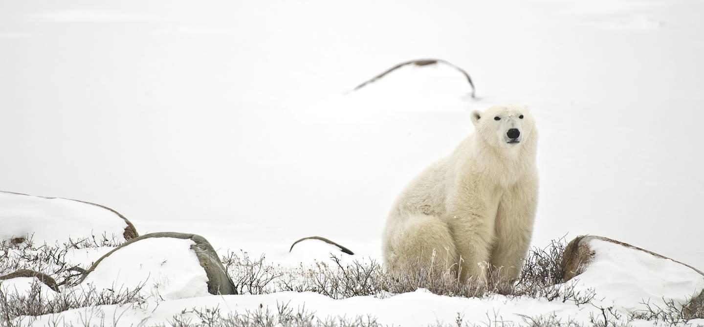 Ours polaire - Churchill - Manitoba - Canada