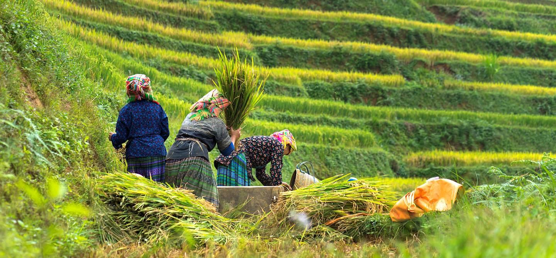 Femmes Hmongs travaillant dans les champs de rizières - Vietnam