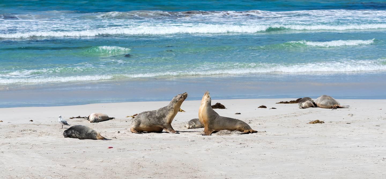 Seal Bay - Kangaroo Island - Australie