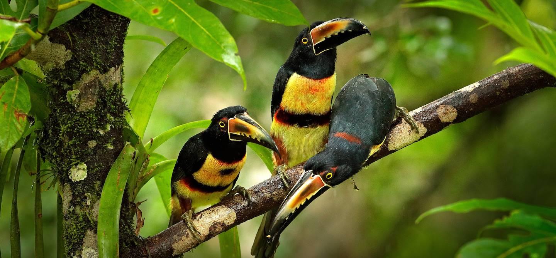 Toucans dans la région de Boca Tapada - Costa Rica