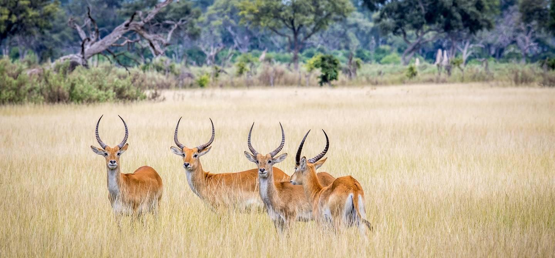 Cobe de Lechwe dans la réserve naturelle de Moremi - Botswana