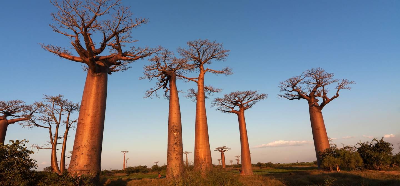 Allée des baobabs - Morondava - Madagascar