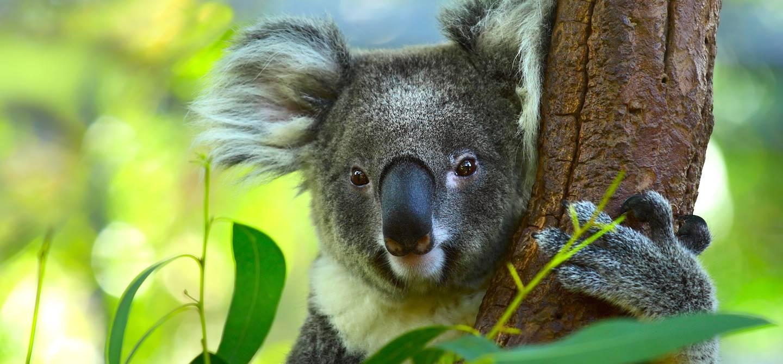 Koala dans un arbre - Australie