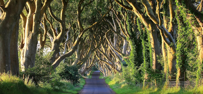 Dark Hedges - Ballymoney - Comté d'Antrim - Irlande du nord