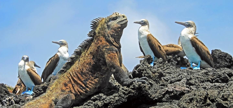 Iguane marin et fous à pieds bleus - Isabela - Îles Galápagos - Equateur