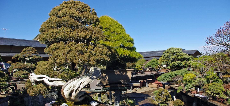 Omiya Bonsai Village - Saitama - Préfecture de Saitama - Japon